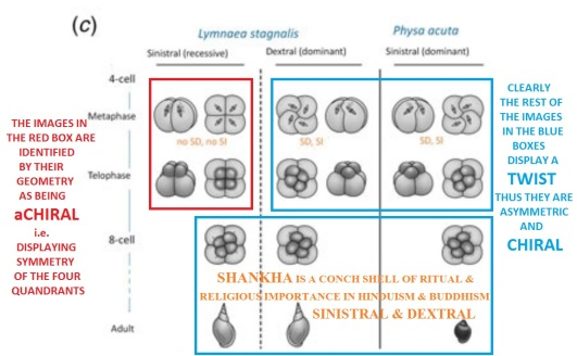 achiral vs chiral How a single gene twists a snail_ 3of3 SHaNKHa or CHaNK or CoNCH